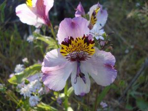 Astromelia with lilac tones