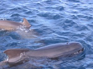 Pilot whales in the Strait of Gibraltar