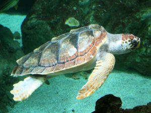 An adult loggerhead turtle (Caretta caretta)