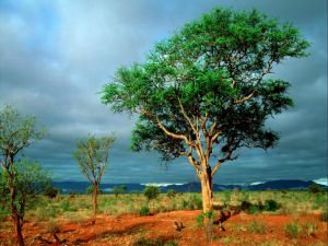 Trees in red soil