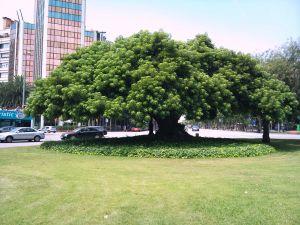 Ombú Tree