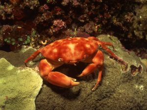 Crab on the seafloor