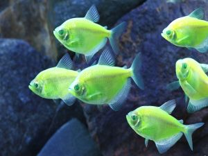 Fluorescent fishes