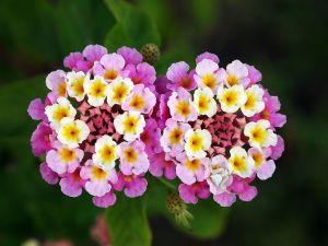 Lantana flowers (Lantana camara)
