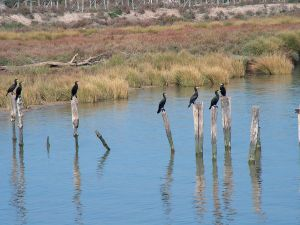 Cormorants (Phalacrocorax carbo) in the margin of the Guadalquivir, Spain