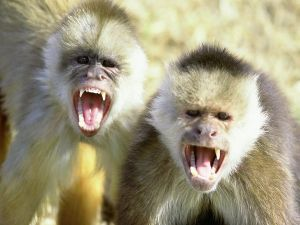 Very angry monkeys