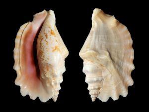 """Sea shell """"Strombus sinuatus"""""""