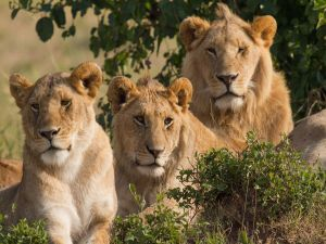 Three lions (one female and two males)