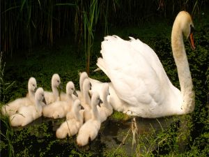 Adult white swan with chicks