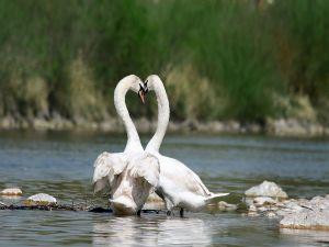 A pair of white swans (Cygnus olor)