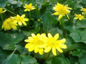 Green leafy plants with yellow flowers