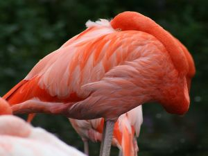 Flamingo at the Toronto Zoo