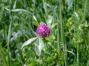 Wild purple flower