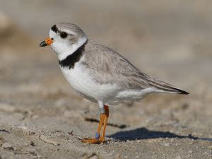 A specimen of piping plover (Charadrius melodus)