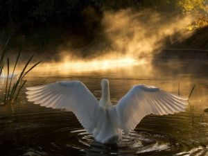 Swan with open wings