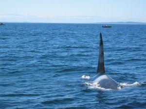 Killer whale in the Strait of Juan de Fuca