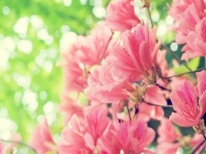 Branches with azalea flowers