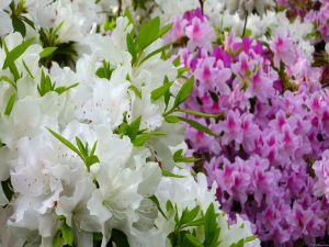 White and pink azalea flowers