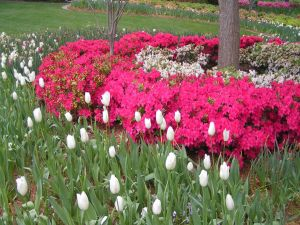 Garden with pink azaleas and white tulips