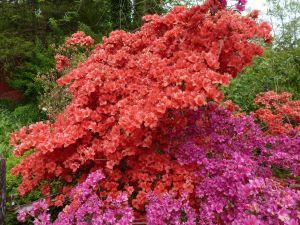 Overgrown azaleas plants