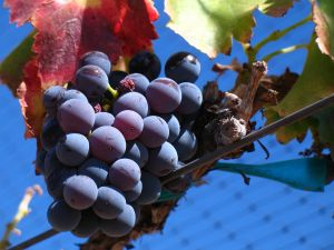 Grenache Noir grapes from a vineyard in Santa Barbara, California