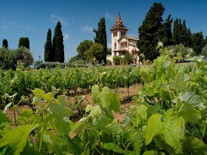 Tempranillo vines in the Garraf, Penedes region