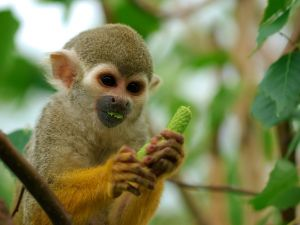 Small monkey eating a green fruit