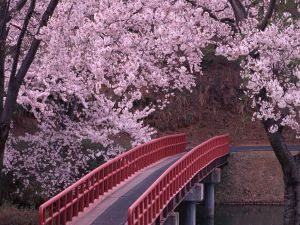 Ride across cherry blossoms