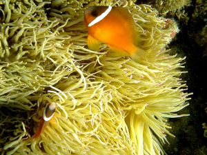 Clownfish next to its anemone