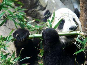 "Giant Panda ""Tai Shan"""