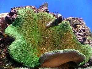 Sea Anemone (Stichodactyla)