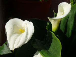 Two callas, one open and other closed