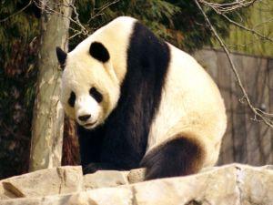 Panda Bear (Ailuropoda melanoleuca)