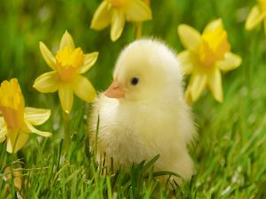 Chick with yellow flowers