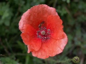 Insect on a poppy