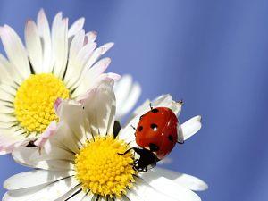 Ladybug on a white daisies