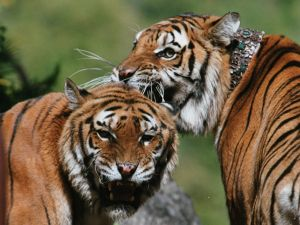 Brothers tigers