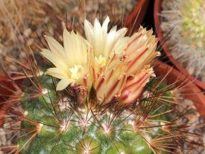 Cactus (Acharagma aguirreanum)