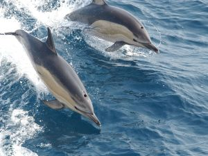 Two dolphins jumping in the ocean waters