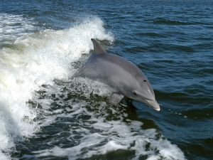 Common bottlenose dolphin (Tursiops truncatus)