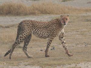Cheetah in Tanzania