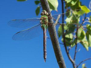 Green Darner (Anax junius)