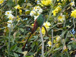 Hummingbird resting on yellow jasmine