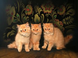 Three Persian Cats