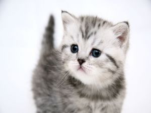 Gray and white kitten