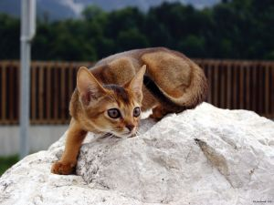 Abyssinian cat on a stone