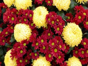 Chrysanthemums and red daisies