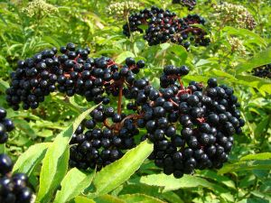 Sambucus berries