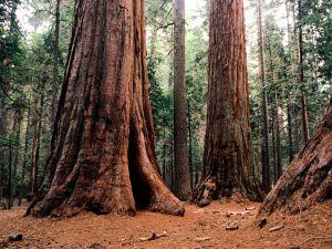 Large tree trunks