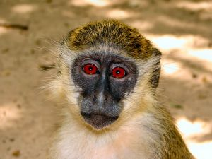 Monkey with red eyes